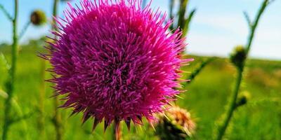 flor de cardo rosa foto
