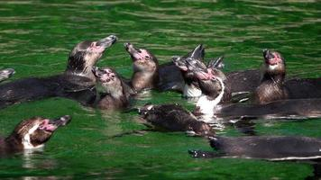 Penguins in Green Water