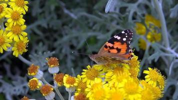 Vanessa Cardui Butterfly on a Yellow Flowers video