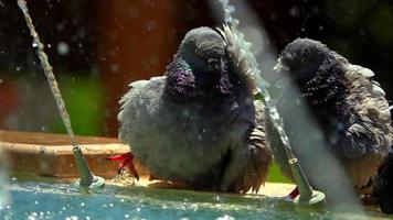 Pigeons near the Water in Fountain video