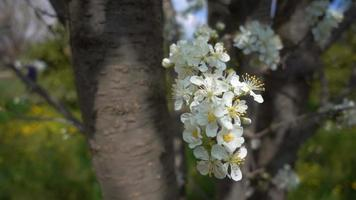 Plum Flowers on Tree