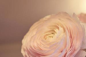 A pink Ranunculus flower with a blurred background