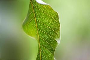 Primer plano de una hoja verde de mango foto
