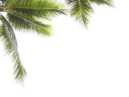 hojas de cocotero enmarcando fondo blanco foto