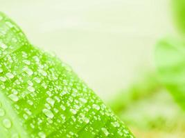 Dew on banana green leaf photo