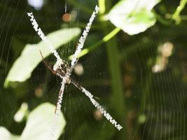 Close-up the wasp spider in a web photo