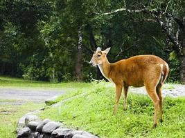Female deer in a park photo