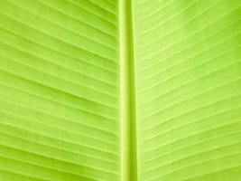 Green banana leaf background photo