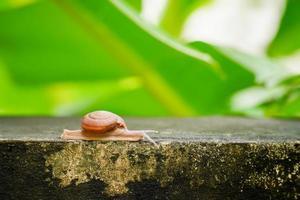 Close up of a creeping grape snail photo
