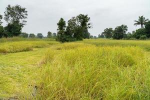Jasmine rice field photo