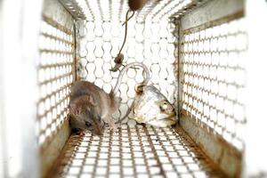 Rodent trapped in a mouse trap cage photo