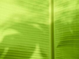 Close up of a banana leaf photo