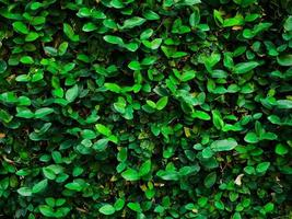 Dark green ivy growing on a wall photo