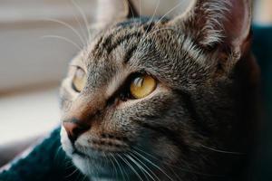 primer plano de gato atigrado foto