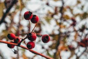 perro rojo se levantó en la rama desnuda foto