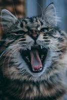 Tabby cat yawning photo
