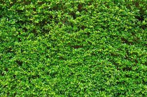 Close-up of a green hedge photo