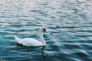 Swan On a Pond photo