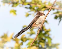 Long tailed tit in sunlight perched on a branch at golden hour photo