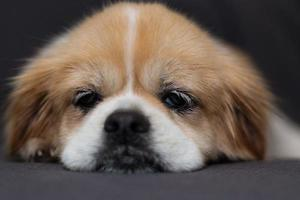 Portrait of Tibetan spaniel puppy laying on blanket photo