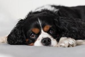 Cavalier King Charles Spaniel on a blanket