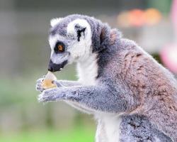 Portrait of lemur eating an apple