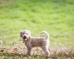 Portrait of poochon puppy with tail up photo