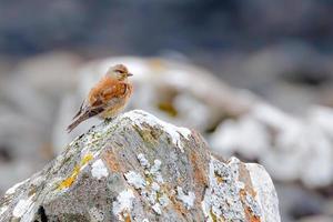 Pardillo macho de pie sobre una roca cubierta de musgo blanco foto