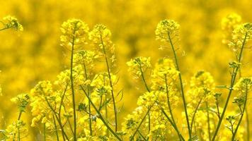 flores e abelhas amarelas em um dia de vento