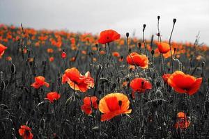 Beautiful field of poppies photo