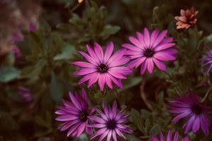 Beautiful pink flower in the garden in spring season photo