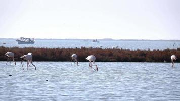 flamingos no mar raso
