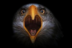 retrato de detalle de águila calva foto