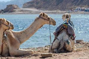 camellos descansando cerca del océano. foto
