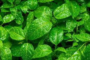 Beautiful green leaves with drops of water photo