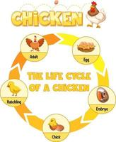 Diagram showing life cycle of Chicken vector