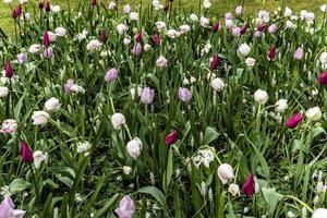 tulipanes rosados y blancos en el jardín foto