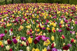 Pink and yellow tulips covering the ground photo