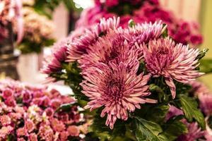 dalias rosadas florecientes foto
