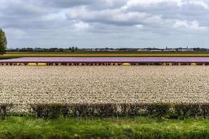 Grandes campos agrícolas de flores cortadas. foto