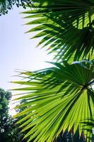 hojas de palma verde foto