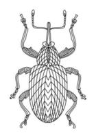 Walnut beetle linear coloring book illustration vector