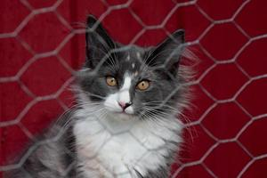 A Norwegian forest cat behind a fence photo