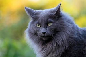 A portrait of a beautiful blue Norwegian forest cat sitting in autumnal garden photo