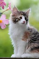 Norwegian forest cat kitten with pink flowers photo