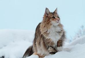 A beautiful Norwegian forest cat sitting on the top of a high white snowdrift photo