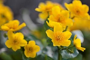 A beautiful bunch of yellow marsh marigold flowers in springtime photo
