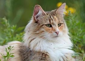 A beautiful female Norwegian forest cat lying in grass photo