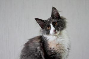 Norwegian forest cat kitten tilting its head photo