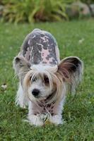 Perro crestado chino jugando en la hierba